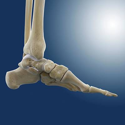 Medial Foot And Ankle Bones Print by Springer Medizin