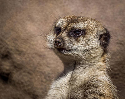 Meerkat Photograph - Meerkat 13 by Ernie Echols