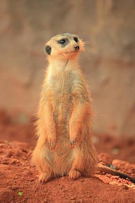 Meerkat 2 Original by Mandy Shupp