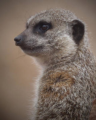 Meerkat Photograph - Meerkat 9 by Ernie Echols