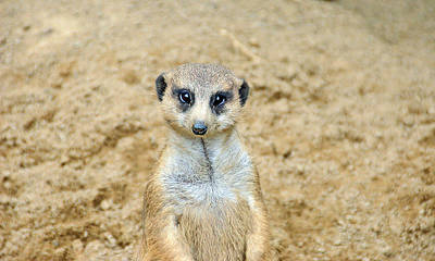 Amimal Faces Photograph - Meerkat by Aimee L Maher Photography and Art Visit ALMGallerydotcom