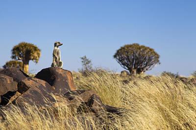 Meerkat In Quiver Tree Grassland Print by Vincent Grafhorst