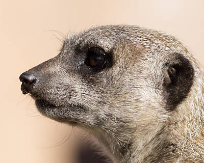 Meerkat Photograph - Meerkat Mug Shot by Ernie Echols