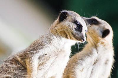 Meerkat Photograph - Meerkats by Daniel Kocian