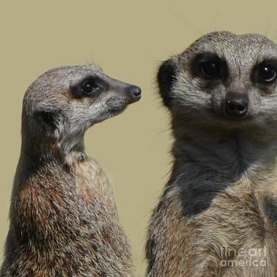 Meerkats Original by Paul Davenport