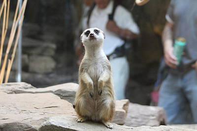 Meerkat Photograph - Meerket - National Zoo - 01132 by DC Photographer
