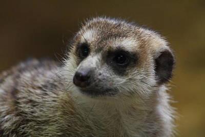 Meerkat Photograph - Meerket - National Zoo - 01136 by DC Photographer