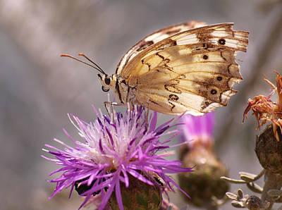 Butterfly Photograph - Melanargia by Meir Ezrachi