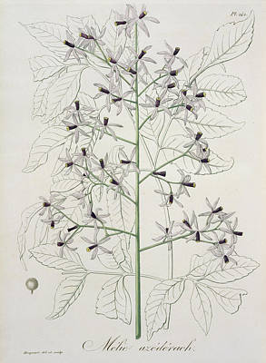 Lilacs Drawing - Melia Azedarach From Phytographie by L.F.J. Hoquart