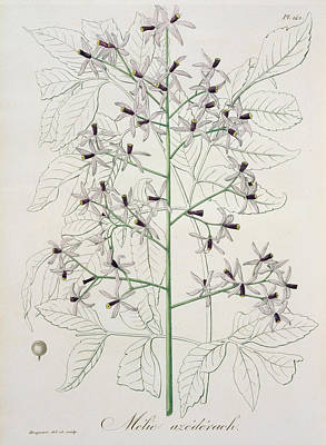 Melia Azedarach From 'phytographie Medicale' By Joseph Roques Print by L F J Hoquart