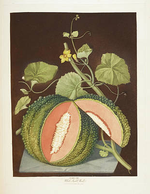 Pomona Photograph - Melon by British Library