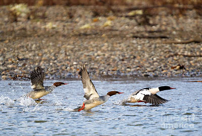 Merganser Flight Original by Mike Dawson