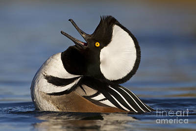Ducks Photograph - Merganser Showing Off by Bryan Keil
