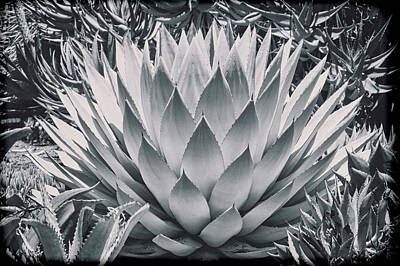 Mescal Agave Print by Kelley King