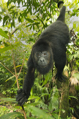 Monkey Photograph - Mexican Black Howler Monkey Belize by Kevin Schafer