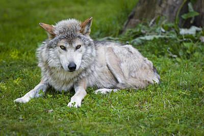 Wolves Photograph - Mexican Gray Wolf by Sebastian Musial