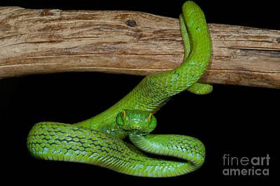 Oaxacan Photograph - Mexican Palm Viper by Dante Fenolio
