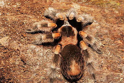 Mexican Redknee Tarantula On Rocks Print by Piperanne Worcester