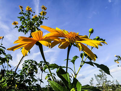 Floral Art Photograph - Mexican Sunflower by Zina Stromberg