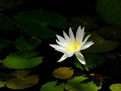 Lilies Photograph - Mexican Water Lily by Alison  Blevins