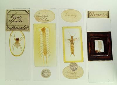 Microscope Slides Print by Science Photo Library