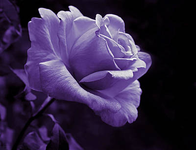 Rose Portrait Photograph - Midnight Rose Flower In Lavender by Jennie Marie Schell