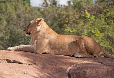 Disney Photograph - Mighty Queen Of The Jungle by John Black