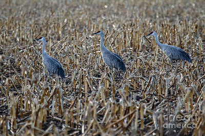 Migrating Sandhill Cranes Print by Robert Bales