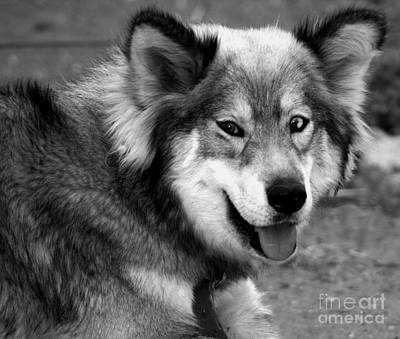 Miley The Husky With Blue And Brown Eyes - Black And White Print by Doc Braham