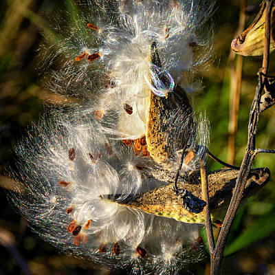 Weed Photograph - Milkweed 2 by Steve Harrington