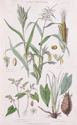 Vegetables Drawing - Millet Maize Buckwheat And Taro by W Fitch