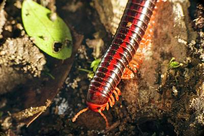 Forest Floor Photograph - Millipede by Philippe Psaila