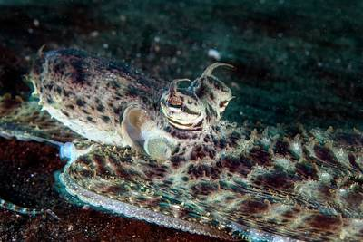 Octopus Photograph - Mimic Octopus by Ethan Daniels