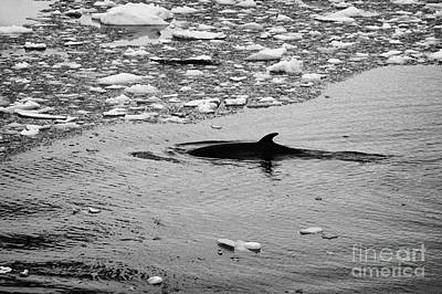 minke whale diving under brash ice the lemaire channel Antarctica Print by Joe Fox