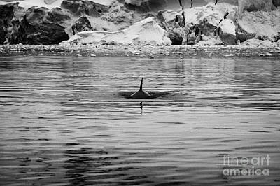 Fournier Photograph - Minke Whale Surfacing With Dorsal Fin In Fournier Bay Antarctica by Joe Fox