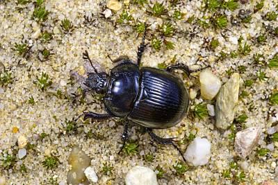 Minotaur Photograph - Minotaur Beetle by Science Photo Library