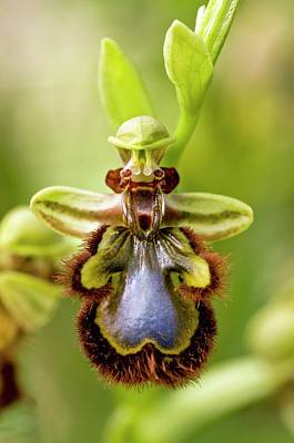 Chios Photograph - Mirror Orchid (ophrys Speculum) Flower by Bob Gibbons