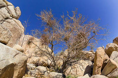 Joshua Tree Photograph - Mistletoe Tree by Scott Campbell