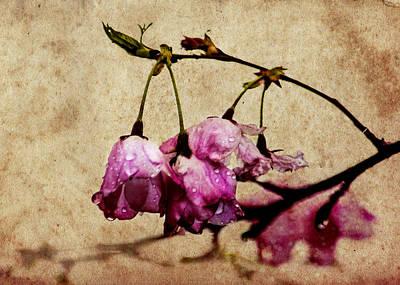 Misty Cherry Blossoms Print by Jon Woodhams