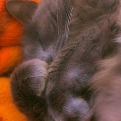 Cats Photograph - Misty Curling Up For A Nap! #alemy by Joann Vitali