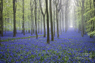 English Countryside Photograph - Misty Dawn Bluebell Wood by Tim Gainey