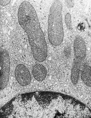 Nature Ers Photograph - Mitochondria And Rough Er Tem by David M. Phillips