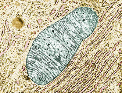 Cristae Photograph - Mitochondrion by Keith R. Porter
