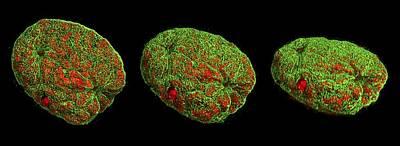 Mitosis Print by Dr Lothar Schermelleh