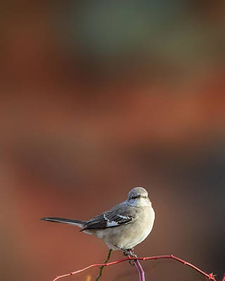 Mockingbird Photograph - Mocking Bird Morning by Bill Wakeley