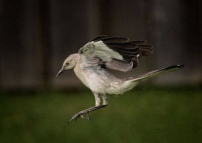Mockingbird Photograph - Mockingbird No. 2 by Rick Barnard