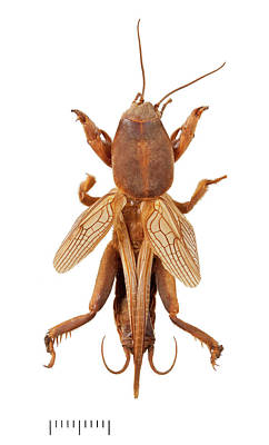 Mole Cricket Print by Natural History Museum, London