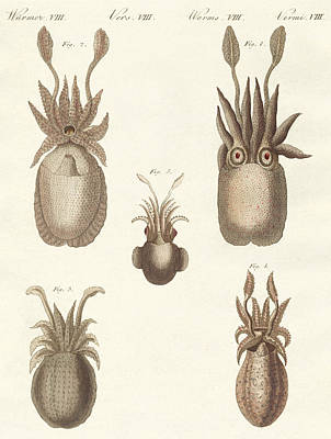 Octopus Drawing - Molluscs Or Soft Worms by German School