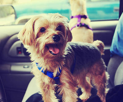 Panting Dog Photograph - Molly's Road Trip by Laurie Search