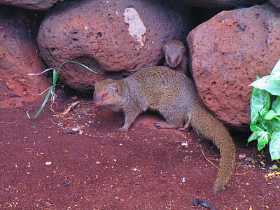Mom And Baby Mongoose Original by Elaine Haakenson